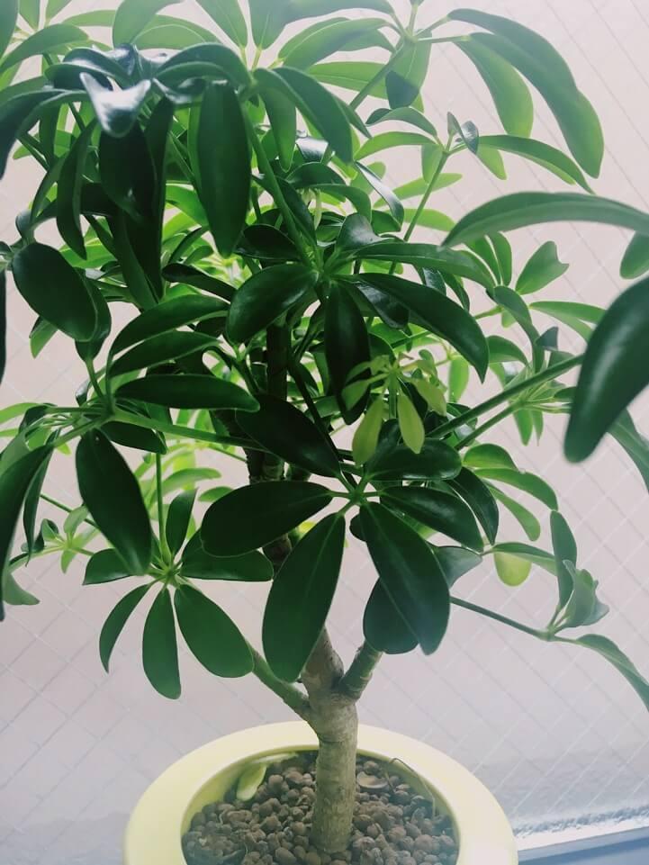 シェフレラコンパクタの葉の様子